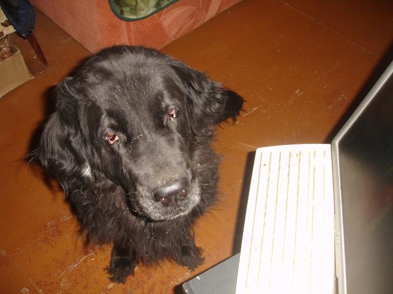 Моя собака Дора и порода её ньюфаундленд